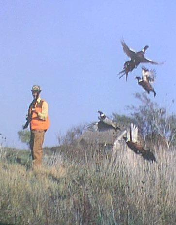 public pheasant hunting in california